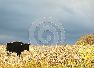 Young american bison, american buffalo