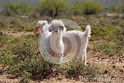 Young Angora Goats