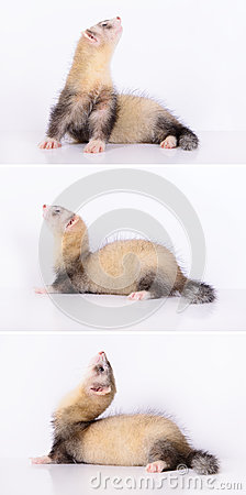 Young animal ferret
