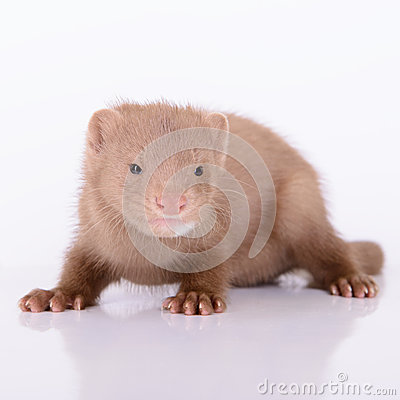 Young animal mink