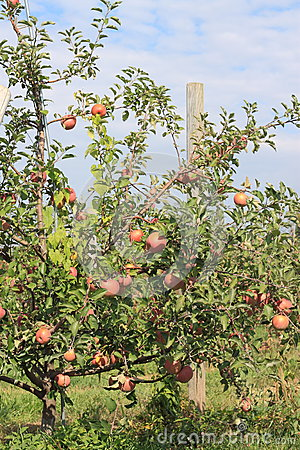 Apple Tree with Stakes