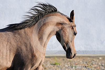 Young Arabian horse runs gallop, portrait