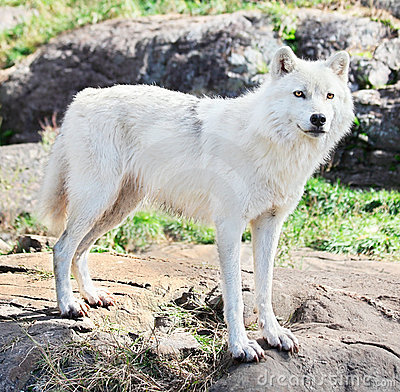 Young Arctic Wolf Standing on Rocks