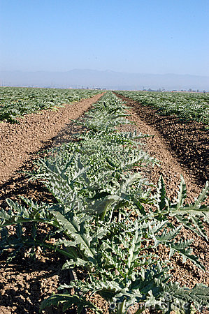 Young artichoke plants 3