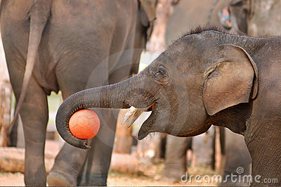 Young asia elephant