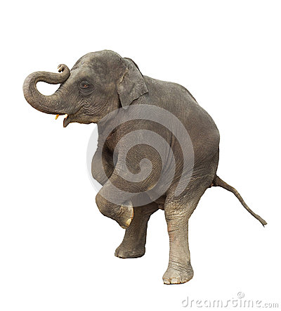 Free Young Asia Elephant Kid Playing Lifting Front Legs To Show Isola Stock Photos - 44275063