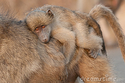 Young baboon riding on its mother s back