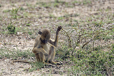 Young baboon, Selous Game Reserve, Tanzania
