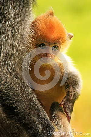 Free Young Baby Of Silvered Leaf Monkey, Sepilok, Borneo Royalty Free Stock Images - 39609699