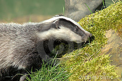 Young badger cub (meles meles)