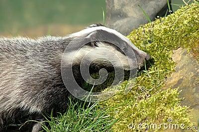 Young badger cub (meles meles)