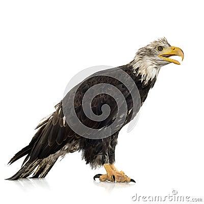 Young Bald Eagle (5 years) - Haliaeetus leucocepha