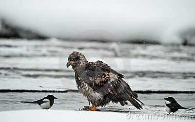 Young Bald eagle with magpie