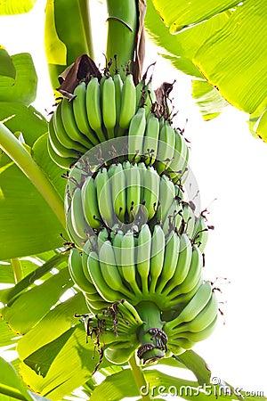 Free Young Banana Royalty Free Stock Image - 18152676