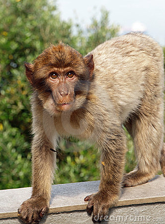 Young Barbary Macaque Monkey Royalty Free Stock Photography - Image: 15347467