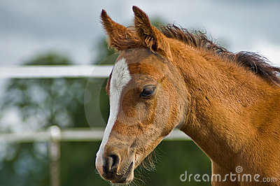 Young bay horse foal close up in profile