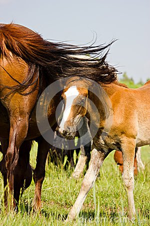 The young bay horse near his mother