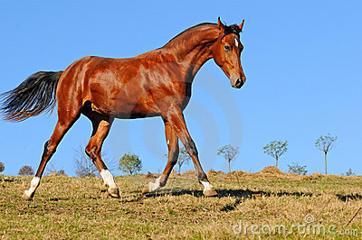 Young bay stallion in paddock