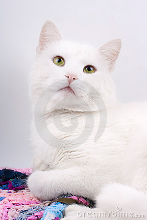 Young beautiful white cat