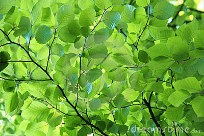 Young beech leaves in spring