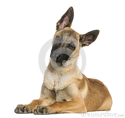 Young Belgian Shepherd lying down and staring, 5 months old