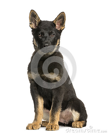 Young Belgian Shepherd sitting and staring, 10 months old