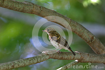 Young bird of blue and white flycatcher