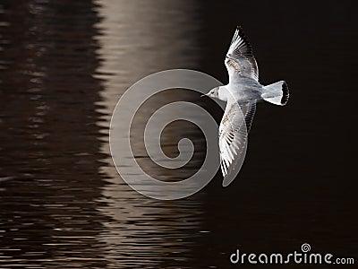 Young bird tea flies over a water surface