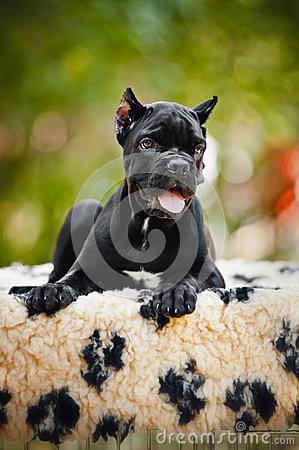Young black Cane Corso puppy lying in front