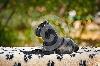 Young black Cane Corso puppy lying in porfil