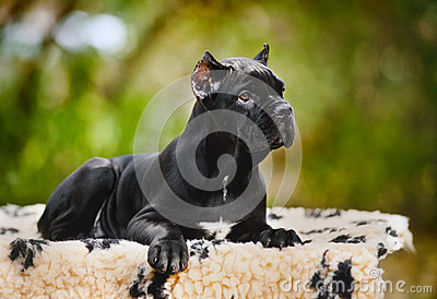 Young black Cane Corso puppy lying on a rug