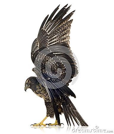 Free Young Black-chested Buzzard-eagle Stock Photos - 3885413