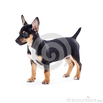 Free Young Black Coat Puppy Dog Isolated On White Stock Photos - 29681293