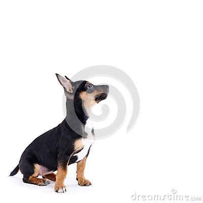 Free Young Black Coat Puppy Dog Isolated On White Stock Photos - 29681333