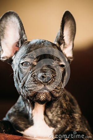 Free Young Black French Bulldog Dog Puppy With White Spot Sit On Red Stock Image - 106780281