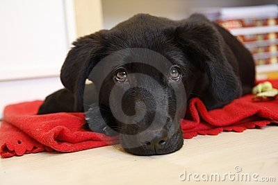 Young black labrador