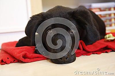 Young black labrador