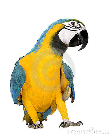Free Young Blue-and-yellow Macaw - Ara Ararauna (8 Mont Royalty Free Stock Images - 4991099