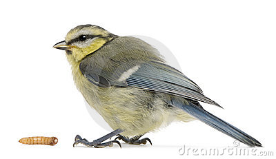 Young Blue Tit, Cyanistes caeruleus, with worm