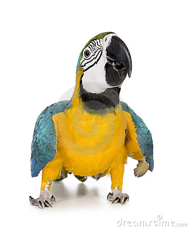 Young Blue-and-yellow Macaw