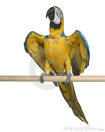 Young Blue-and-yellow Macaw perching