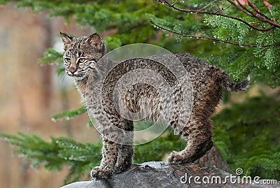 Young Bobcat ( (Lynx rufus) Stands Defiant