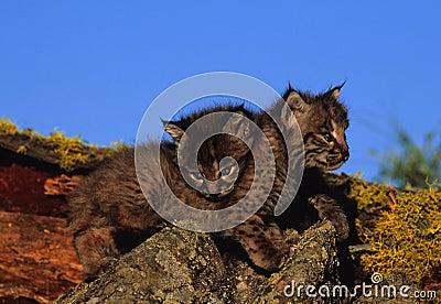 Young Bobcats Cuddling