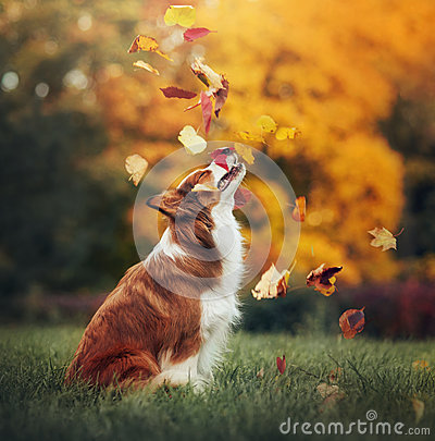 Free Young Border Collie Dog Playing With Leaves In Autumn Stock Photography - 52014192