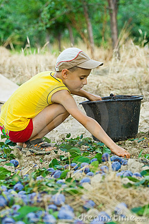Free Young Boy Picking Plums Stock Photos - 6097233
