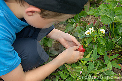 Young boy picking up strawberries on garden-bed