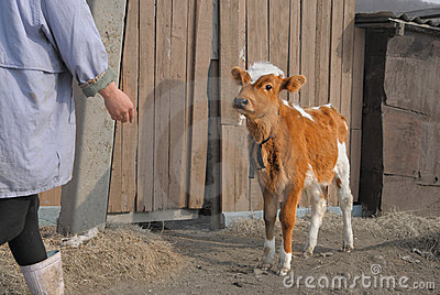 Young brown calf on a farm