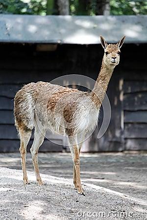 Young brown lama