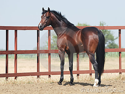 Young brown trakehner horse