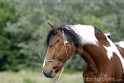 Young brown and white pony